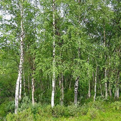 Silver-birch---Betula-pendula