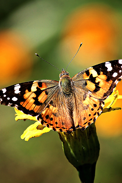 Painted-Lady---Vanessa-cardui